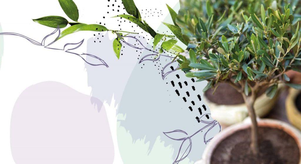 Ulivo da giardino caratteristiche e cure